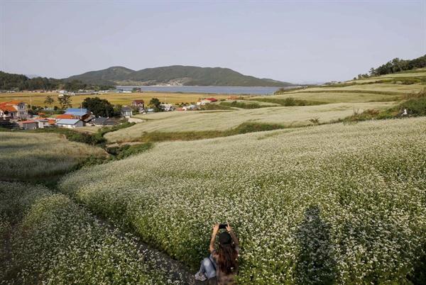 하얀 메밀꽃이 활짝 핀 장흥 선학동마을 풍경. 꽃밭 너머로 회진 앞바다가 펼쳐진다. 선학동마을은 전형적인 바닷가 마을이다.