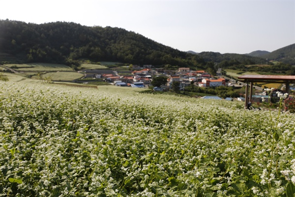 하얀 메밀꽃이 활짝 핀 선학동마을 풍경. 형형색색의 마을 지붕도 조화를 이뤄 한 폭의 그림을 연상케 한다.