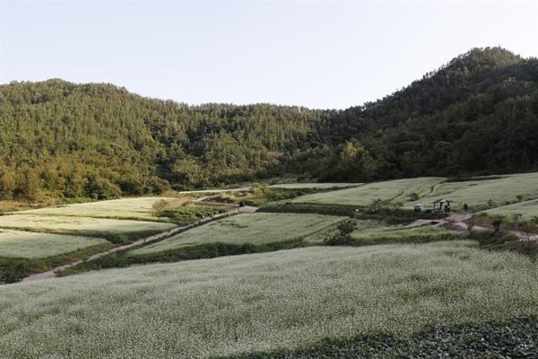 하얀 메밀꽃이 활짝 핀 선학동마을 풍경. 공저산이 둘러싼 마을의 뒤편 구릉을 뒤덮고 있다.