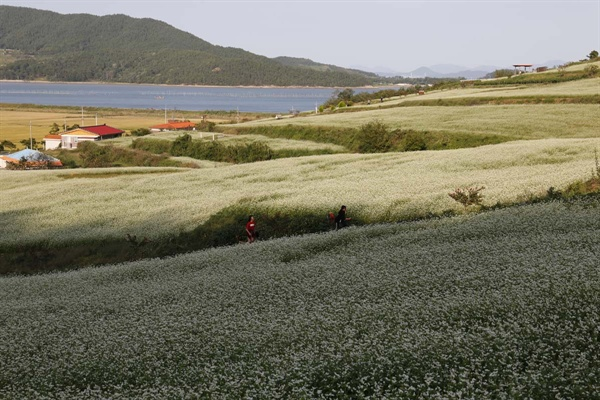 선학동마을의 메밀꽃밭 풍경. 장흥 회진의 바닷가 마을을 온통 하얗게 뒤덮고 있다.