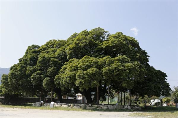 삼산리 후박나무. 세 그루로 숲을 이루고 있다. 천연기념물로 지정돼 있다.