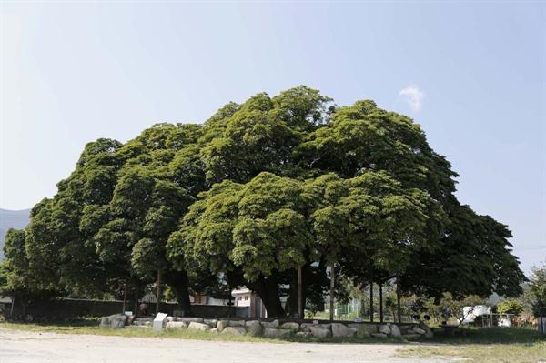 장흥 삼산리 후박나무. 멀리서 보면 한 그루의 나무처럼 보인다. 조경사가 부러 다듬기라도 한 것처럼 겉모습도 아름답다.