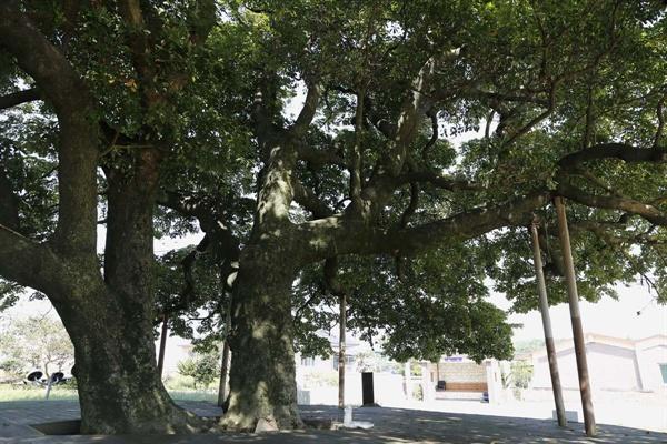 세 그루의 후박나무 가운데 두 그루. 얼핏 한 그루처럼 보이지만, 뿌리가 다르다.