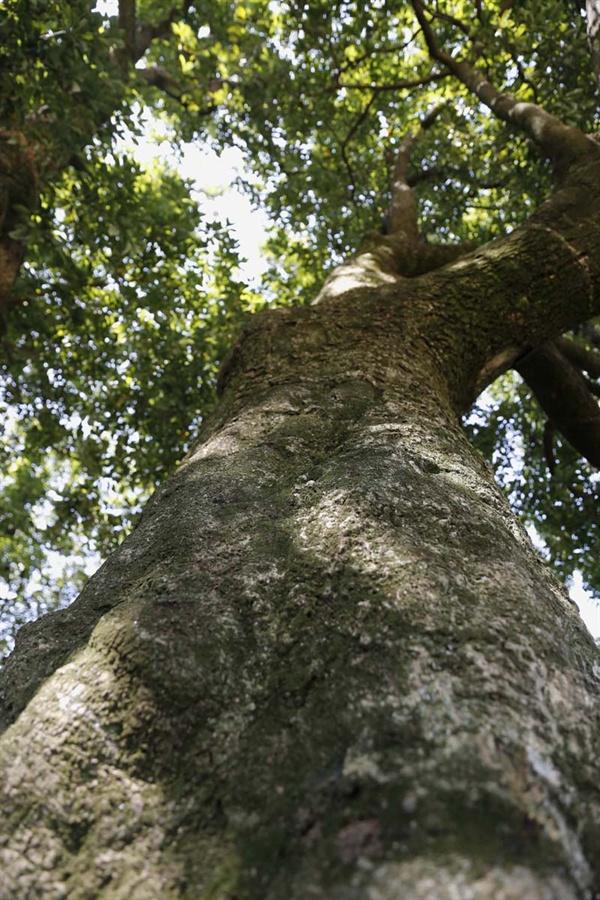 후박나무의 위용. 가슴 높이 둘레가 2-3m에 이른다. 두 팔을 양쪽으로 두 번은 펼쳐야 겨우 닿는다.