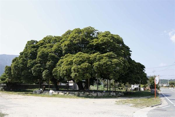 장흥 삼산리 후박나무. 전라남도 장흥군 관산읍 삼산리 산서마을 입구에 있다. 마을을 지나는 조붓한 도로 변이다.