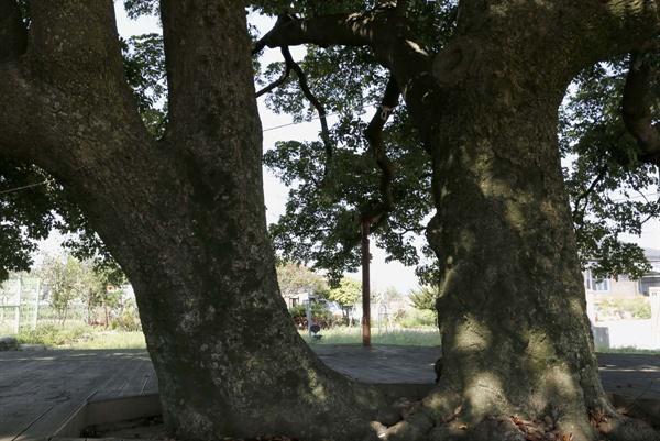 400년 된 삼산리 후박나무 두 그루. 얼핏 한 그루처럼 보이지만 뿌리가 다르다. 나뭇가지도 나란히 사이좋게 올라 바깥쪽으로 펼쳤다. 따로 또 같이 다정스런 형제 같다.