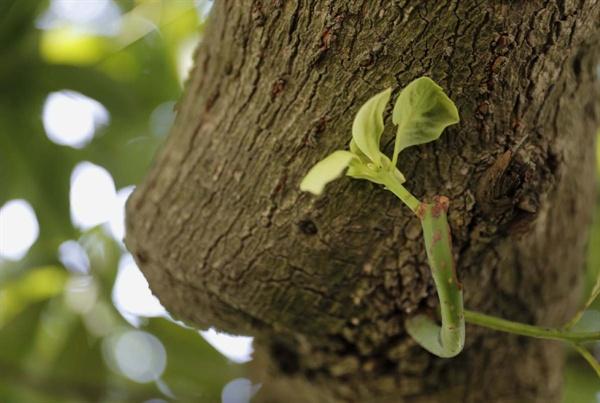 새순이 돋아나고 있는 후박나무. 삼산리 후박나무는 찢기거나 부러진 나뭇가지 없이 지금도 잘 자라고 있다.