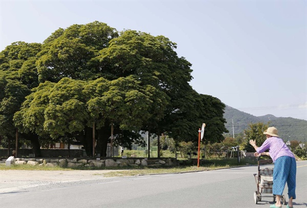 산서마을에 사는 어르신이 유모차에 기대 삼산리 후박나무 앞을 지나고 있다.