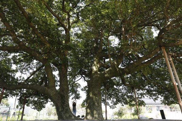 삼산리 후박나무는 마을의 안녕과 평화를 지켜주면서 주민들의 쉼터로 이용되고 있다. 나무를 닮은 마을사람들도 순박하게 살아가고 있다. 나무와 함께.