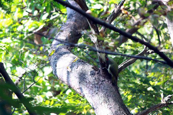 청딱따구리 수컷이 인기척이 나자 몸을 숨기려고 하고 있는 모습