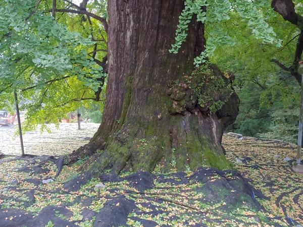 은행나무 이번주에 가시면 노란 은행나무를 보실수 있으실듯 합니다. 사진은 2018.10.7