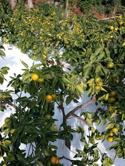 몇 년 전부터 극조생 감귤 앞에 '타이벡'이란 꾸밈말이 붙기 시작했다. 타이벡은 감귤 품종 이름이 아니라 미국 듀폰사의 합성 고밀도 폴리에틸렌 섬유 이름이다. 감귤에 이름이 붙은 까닭은 감귤 농원에 하얀 타이벡을 깔고 재배했기 때문이다.