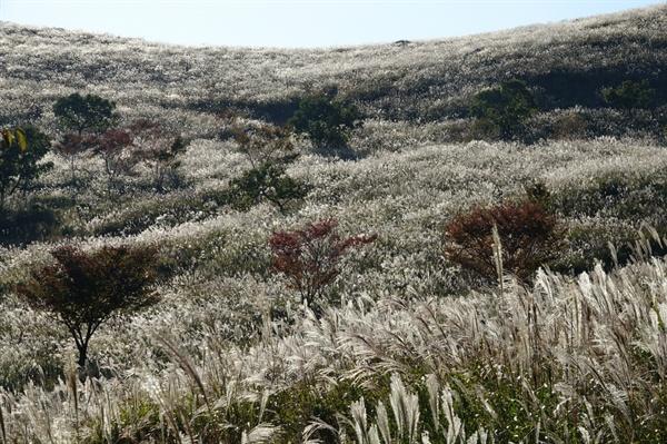 황매산 억새 역광으로 비치는 억새밭 풍경