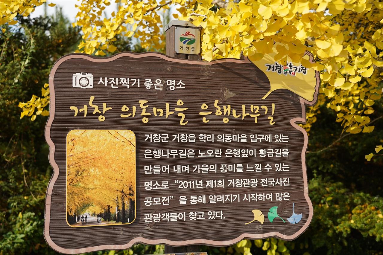 거창군 의동마을 은행나무길