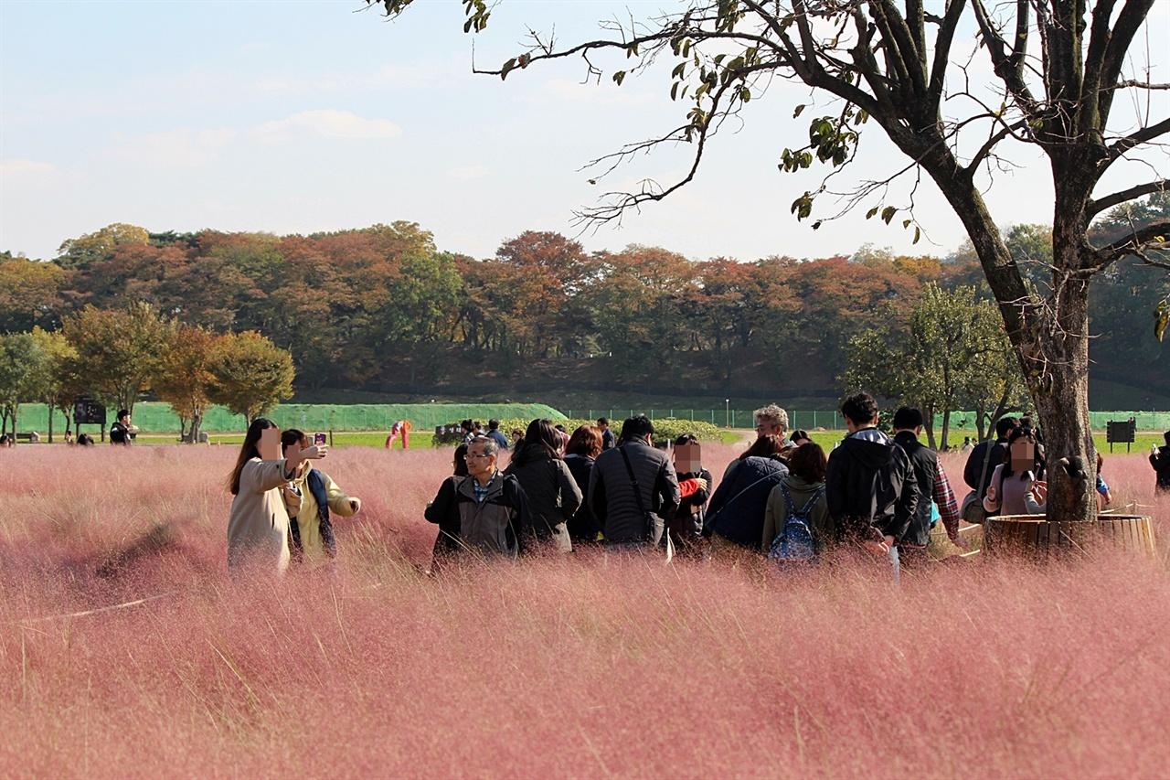 경주 첨성대 일원 핑크뮬리단지에 평일인데도 사람들로 붐비는 모습