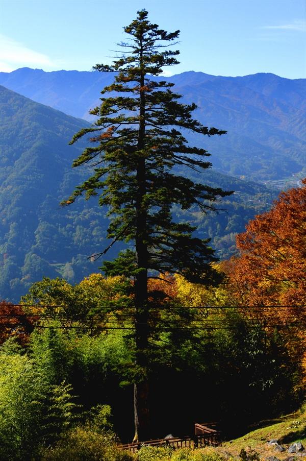 우리나라에 현존하는 잔나무 중 가장 크고 오래된 금대암 전나무. 높이40m, 둘레 2.92m, 수령이 500살이 넘었다.