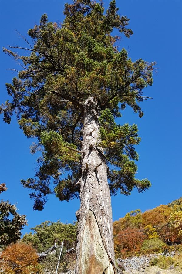밑에서 올려다 본 금대암 전나무. 나무는 그리스도 탄생 이전부터 지구상에서 신앙의 대상으로 여겨지고 있었다.
