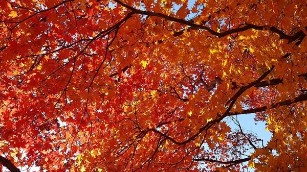 가을나무들이 토해내는 색들의 향연이 숨을 턱 막히게 한다. 사람들의 눈에는 아름답게 보이지만, 사실 나무들은 겨울을 나기 위해 심한 가슴앓이를 하고 있는 것이다. 가슴앓이가 붉다 못해 검붉다