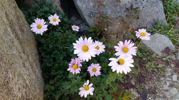 서석대 전망대 밑에 연분홍의 구절초가 청초하게 피어 있다. 늦가을에 잠깐 피었다가 사라진다. 사라지는 것들의 아름다움 이라니...