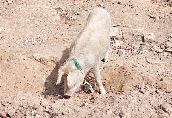 돼지도 여차하면 사람을 공격한다. 길 위에서 마주치는 동물들이 가끔은 무섭다. 니카라과 호수에서 만난 돼지 사진은 도둑 맞았고, 사진의 돼지는 볼리비아 섬에서 만난 돼지다.