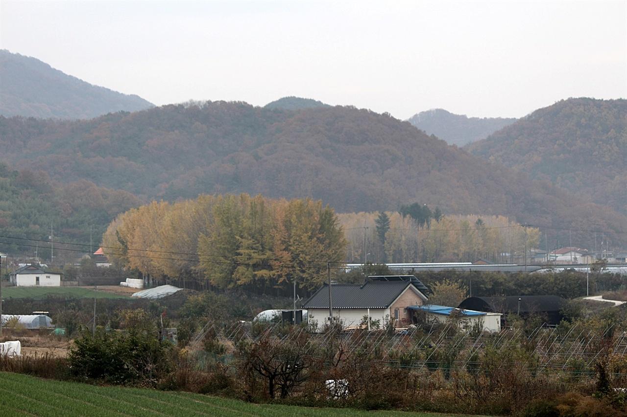 경주 아화 도리마을 은행나무 숲 모습, 이런 곳이 7곳이 있다.