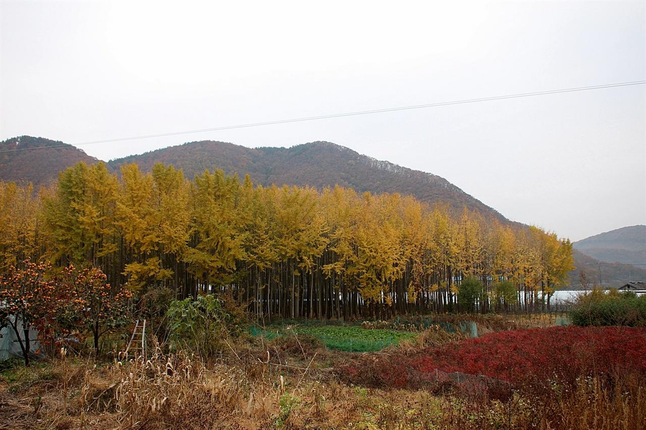 아름답기로 소문난 경주 아화 도리마을 은행나무숲 모습