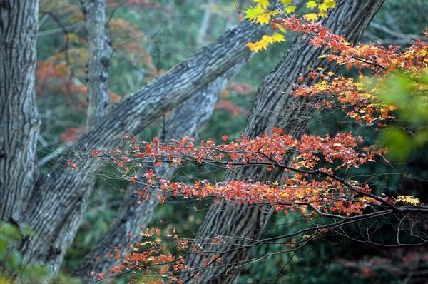 대흥사로 가는 숲길의 단풍. '땅끝' 해남 두륜산은 한반도의 마지막 가을단풍이 머무는 곳으로 알려져 있다.