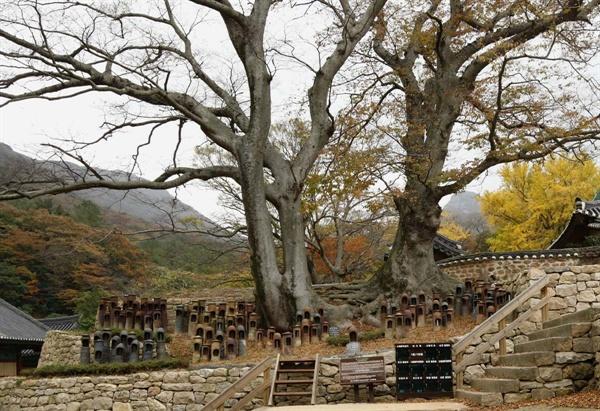 대흥사의 연리근. 두 나무의 뿌리가 한데 엉켜 있다.