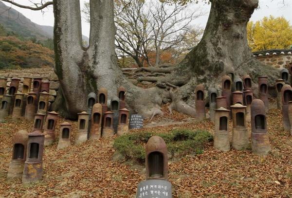 대흥사의 연리근. 중생들의 촛불을 안전하게 밝혀줄 보호각이 주변에 설치돼 있다.