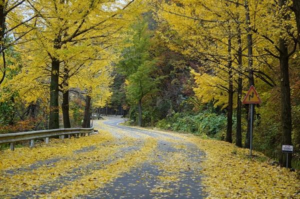 길에 떨어진 은행잎 은행나무 가로수
