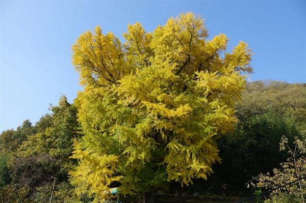 은행나무 350살 은행나무