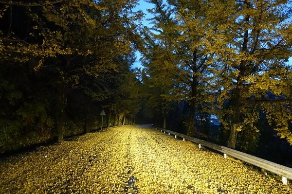 밤에 보는 은행나무 단풍잎 길 위에 은행잎이 가득 떡어져 있다.