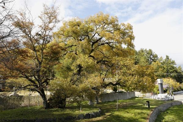 필문 이선제가 심은 왕버들나무. 수령 600살로 추정되고 있다. 이선제가 가문의 번영을 바라면서 심었다고 전해진다.