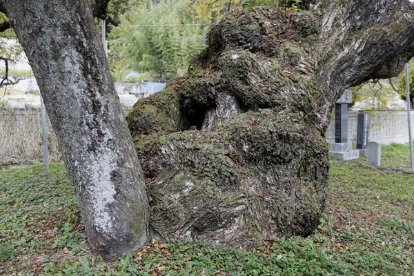 이선제가 심은 왕버들나무. 수령 600살로 추정되고 있다.