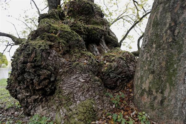 이선제가 심은 왕버들나무. 한눈에 봐도 고목임을 알 수 있다. 수령 600살로 추정된다.