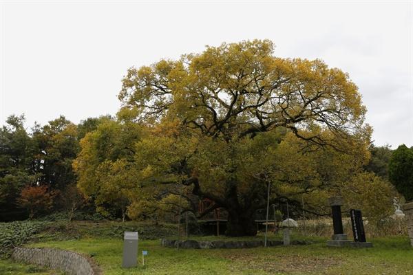 이선제가 심은 왕버들나무. 집안에서 급제자가 나오면, 이 나무에 북을 걸어두고 축하연을 벌였다고 '괘고정수'로 불린다.