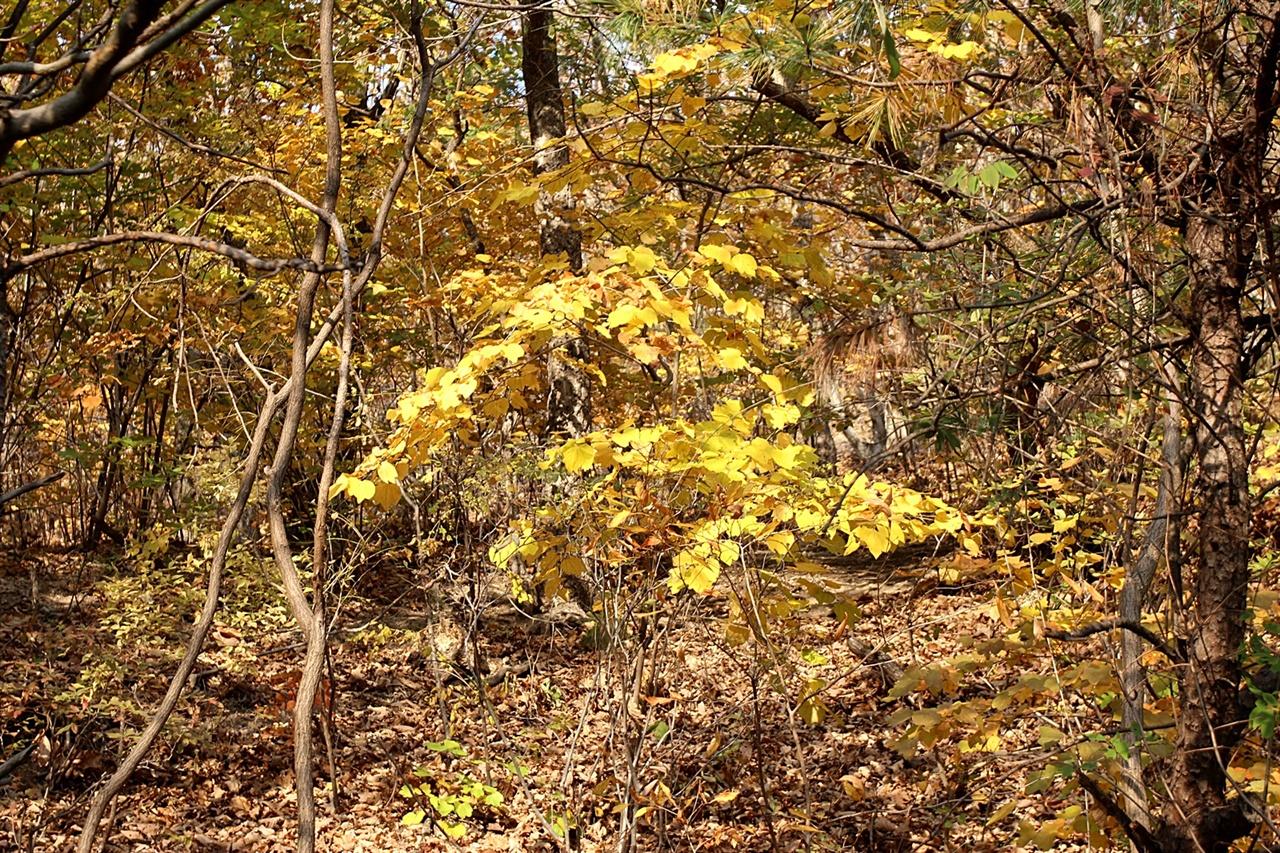 떨어진 낙엽과 노랑 옻나무 모습이 아름다운 경주 추령재.
