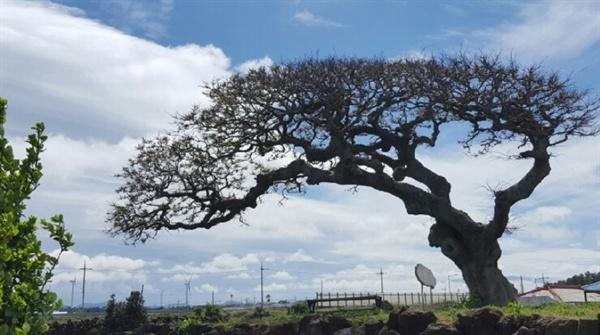 ▲ 제주시 구좌읍 동복리 언덕배기에 있는 팽나무. 거센 바람을 111년 동안 맞은 탓에 나무 모양이 한쪽으로 휘어졌다. 독특한 나무 생김새(수형)를 인정받아 1982년에 '보호수'로 지정됐다. 멀리 수평선을 따라 풍력발전기들이 보인다.
