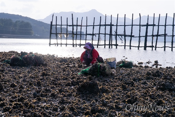 투석식은 썰물과 밀물 차가 큰 얕은 바다에 큰 돌을 던져 놓는 것으로 끝이다. 앞서 수하식처럼 종패를 키워 다시 옮기지 않고 돌에 달라붙은 굴이 성장한 것을 채취한다. 밀물과 썰물이 있어 먹이 활동을 썰물에는 중단해 수하식보다 알이 작다.
