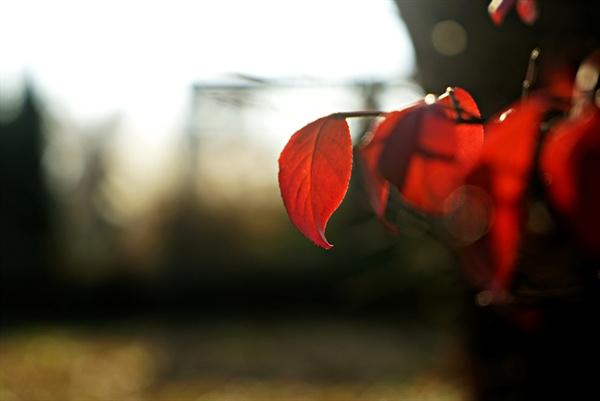 빨간 화살나무 단풍
