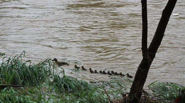 어미 오리와 새끼 오리  2018년 5월 16일 폭우 내리던 날 새끼 오리가 태어났다. 이들 가족은 무사히 탄천으로 이소하여 오순도순 살았다.