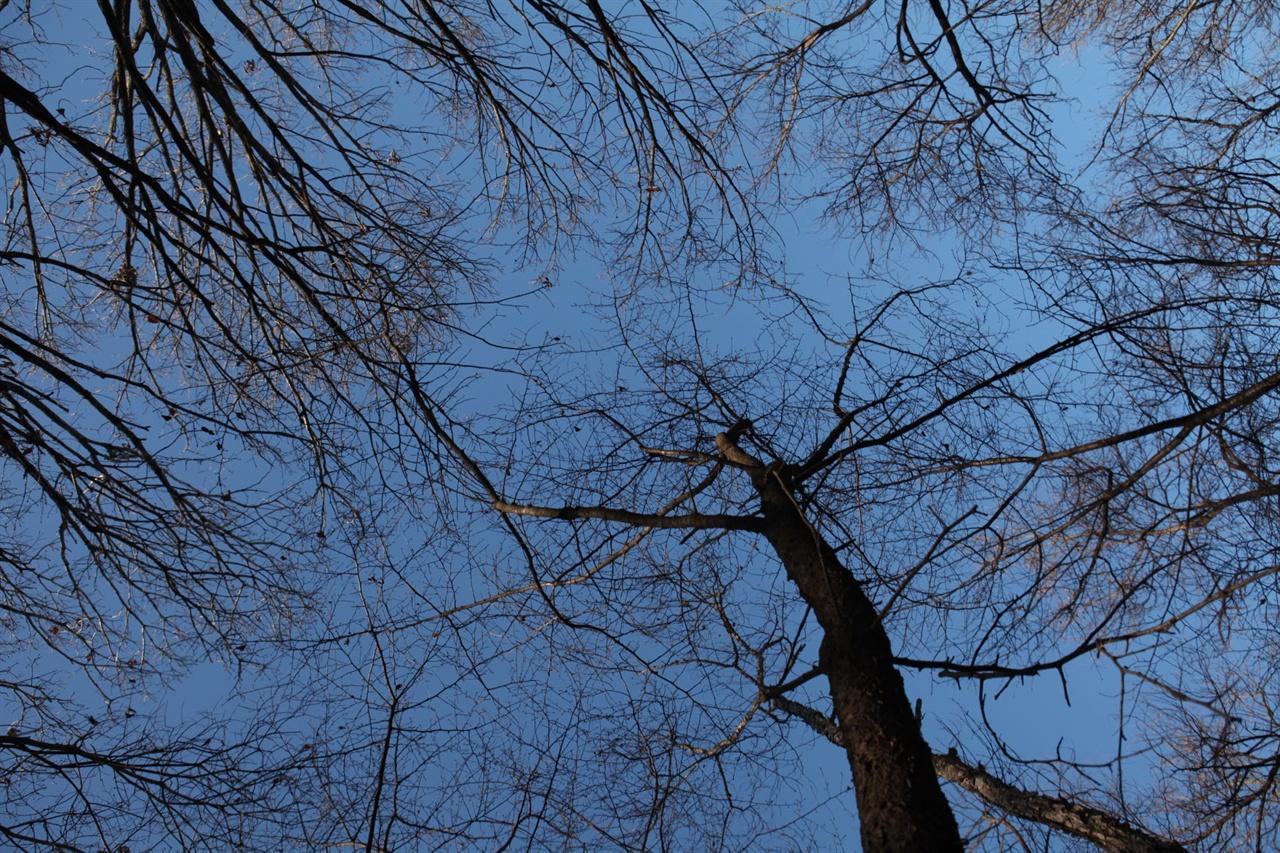 겨울숲의 진경은 가지만 남은 나무의 숨죽인 단출함과 하늘의 푸른 서늘함이 만들어내는 조화이다.