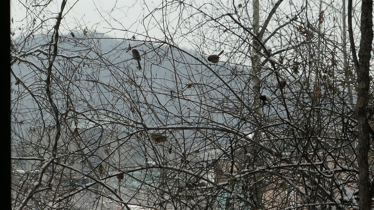 서재앞 좀작살나무는 참새들이나 딱새, 직박구리들의 놀이터입니다.