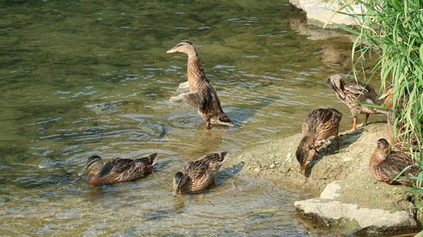날갯짓 하는 새끼 오리들  솜털을 밀어내고 깃털이 올라 오는 게 보인다. 몸집은 많이 컸지만 날개가 자라려면 아직 멀었다.