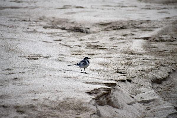 중장비와 사람들이 조사를 위해 찾아가자 모래톱에 앉아있던 할미새들이 날아올랐다.