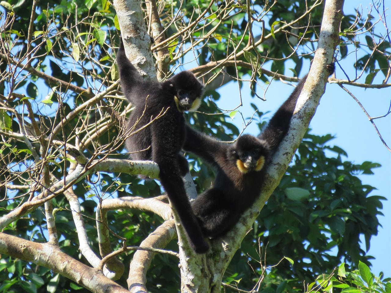 깟띠엔 국립공원의 긴팔원숭이들