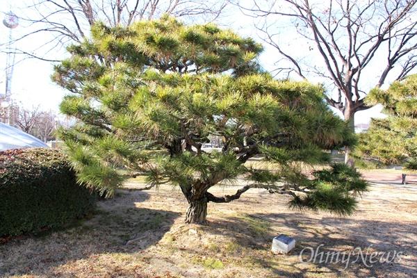 전경환 새마을운동중앙본부 사무총장이 1983년 12월 16일 경남도청 뜰에 기념식수해 놓은 소나무.