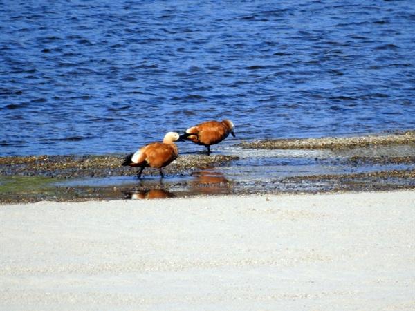 충청북도에서 흘러드는 미호천과 금강이 만나는 지점에 주황색 황오리가 모래톱 부근에서 먹이활동을 하고 있다.