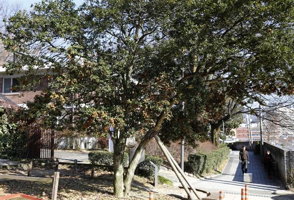 광주 양림동 호랑가시나무. 수령 400여 년으로 추정되고 있다.