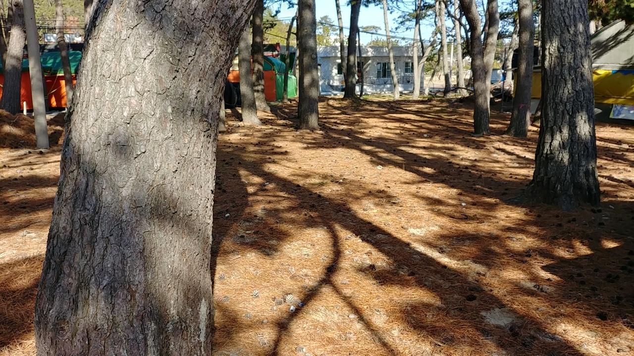 명사십리는 아름드리 해송이 우거져 있어 삼림욕도 가능하다.